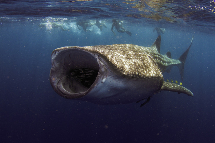 whale-shark_resize_md