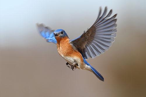 bluebird-in-flight